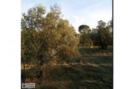 Burhaniye Ağacık'da Satılık Zeytinlik