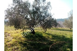 Edremit Çamlıbel'de Satılık Zeytinlik
